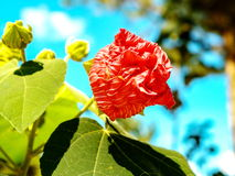 Red Flower in park and outdoor or botanic in Dalat. Of Vietnam Royalty Free Stock Photography