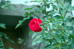 Red flower on path in frankfurt on main ginnheim hessen Stock Images