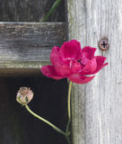Red Flower Peaking through Fence. Red flower and but peaking through an old wooden fence with a rusty nail Stock Image