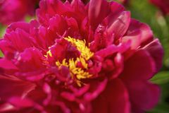 Red flower peony macro petal. Red flower peony close-up bokeh background garden nature outdoors summer blossom sunlight royalty free stock photos