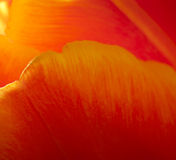 Red Flower Petal. Red and yellow flower petals, close up Stock Photography