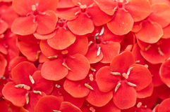 Red flower petal texture. Beautiful red flower petal texture background royalty free stock photo
