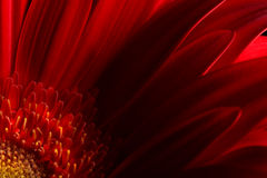 Red flower petals on dark background Stock Images