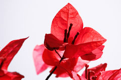 Red Flower Petals on White Background. In Soft Focus Royalty Free Stock Images