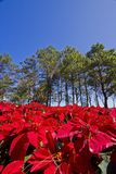 Red flower and pine tree Royalty Free Stock Photo