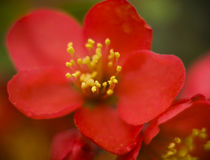 Red flower with pistils and stamens macro Royalty Free Stock Images