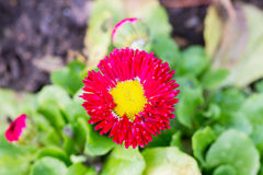 Red flower. Plant with yellow middle Stock Photo