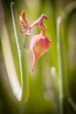 Red flower pod. On green stalk in sunny garden Royalty Free Stock Photos