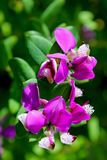 Red flower Polygala. Polygala is a large genus of flowering plants belonging to the family Polygalaceae. They are commonly known as milkworts or snakeroots. The stock photo