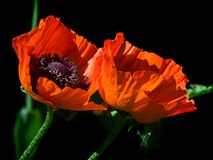 Red flower of poppy. On a black background Royalty Free Stock Images