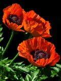 Red flower of poppy. On a black background Stock Photo