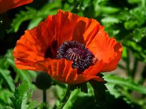 Red flower of poppy. Red poppy flower blooming in the garden Stock Image