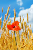 Red flower of poppy on harvest field Stock Photos