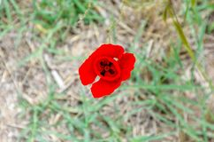 Red flower of Poppy, Papaver, blossom in dry grass. stock illustration