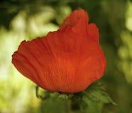 Red flower poppy sunlight macro green background. Red flower poppy sunlight garden green color nature leaf summer stock photos