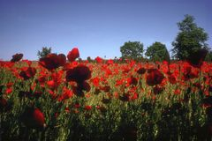 Red flower a whole field from below stock photos