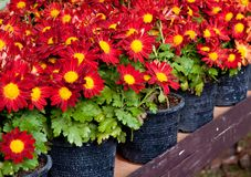 Red flower in  pot. Stock Photography