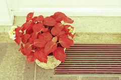 Red flower in a pot on the pavement in front of the house. Stock Photos