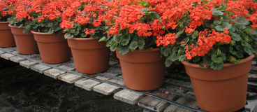 Red Flower Pots Stock Photo