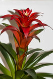 Red flower potted plants bromeliads Royalty Free Stock Photography