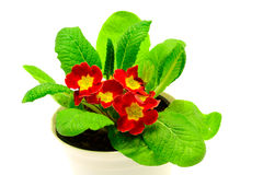Red flower, Primrose plant Royalty Free Stock Image