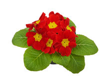 Red flower primrose violets Royalty Free Stock Photo