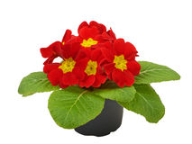 Red flower primrose violets Royalty Free Stock Photos