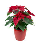 Red flower puansettia in the pot Stock Photo