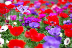 red flower and purple flower Royalty Free Stock Images