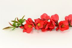 Red flower of quince Royalty Free Stock Photography