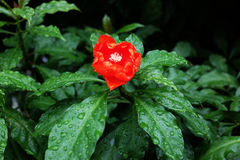 Red flower and rain drop Royalty Free Stock Photography