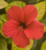 Red Flower with Rain Drops. A close-up shot of a red flower with rain drops Royalty Free Stock Images