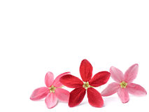 Red flower of Rangoon creeper on white background Stock Photo