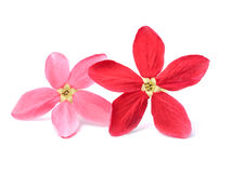 Red flower of Rangoon creeper on white background Stock Photography