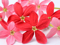 Red flower of Rangoon creeper on white background Royalty Free Stock Image