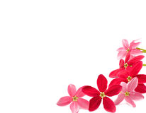 Red flower of Rangoon creeper on white background Royalty Free Stock Photos