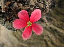 Red flower of Rangoon creeper Royalty Free Stock Photos