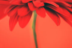 Red flower on a red background Royalty Free Stock Images
