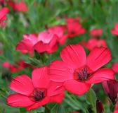 Red flower. A red flower, like a fire in the night, shines so brightly, I`m glad. My eye admires, because beauty is spreading at my feet stock photos
