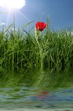 Red flower in reflection. Stock Images