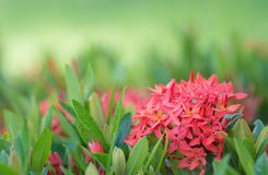 Red flower representative of love morning light natural plant la. Ndscape in blurred green bokeh background royalty free stock photos