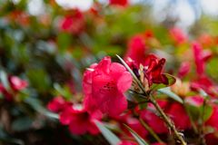 Red flower Rhododendron Taurus black seeds stock photo