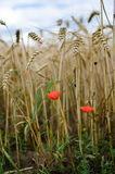 Red flower with ripe wheat in field. Red flower with golden ripe wheat in field Stock Images