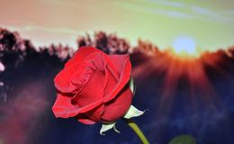 Red, Flower, Rose Family, Rose Stock Photography