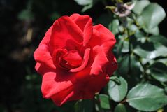 Red flower of Rose stock photos