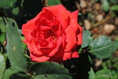 Red flower of Rose royalty free stock image