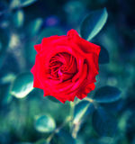 Red flower of rose. Stock Photo
