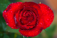 Red flower of rose. Royalty Free Stock Photography