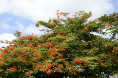 Red flower of Royal poinciana or flamboyant tree Stock Photography