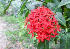 Red flower, Rubiaceae flower, Ixora coccinea Royalty Free Stock Images
